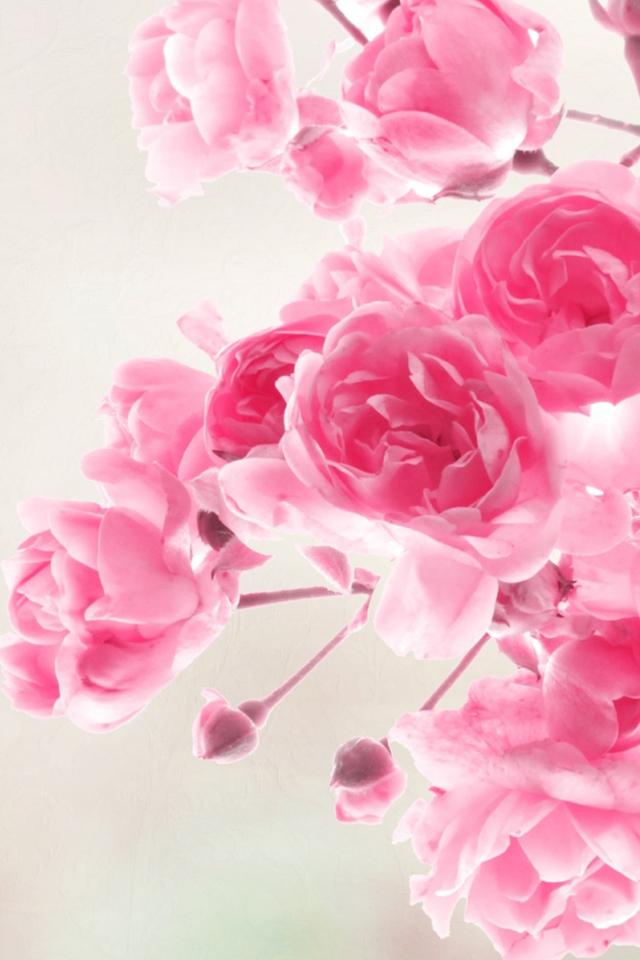 Розовые розы обои для Iphone Природа обои для Iphone